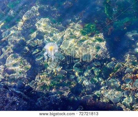 Fried Egg Jellyfish  (phacellophora Camtschatica)