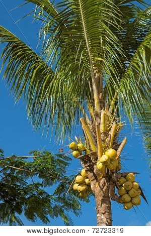 Coconut Palm With Fruits
