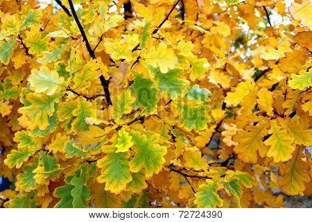 Yellow-green oak leaves in autumn