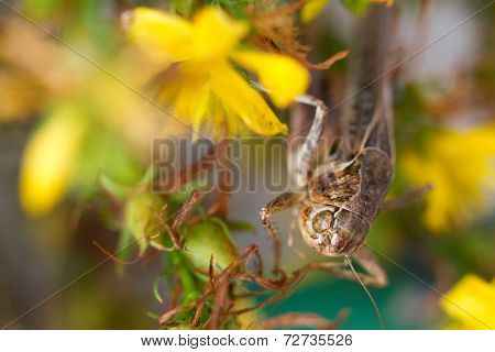 Grasshopper sits on a branch of bush with flowers.