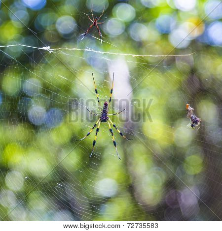 Giant Wood Spider The Golden Orb Weaver Or Banana Spider