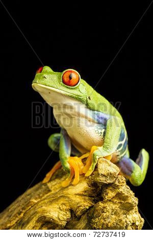Red-eyed Green Tree Frog (agalychnis Callidryas)