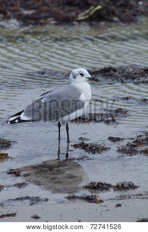 Seagull in tidal pool