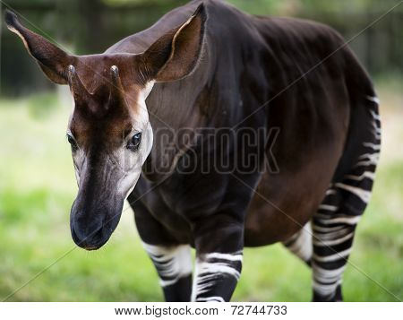 The Okapi known as the forest giraffe or zebra giraffe