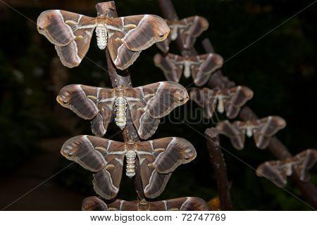 Samia Ricini Moth