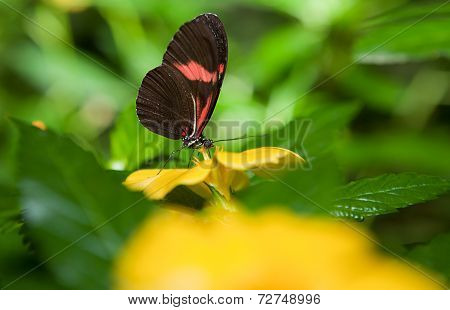 Postman Butterfly Over Yellow Flower