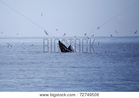 Whales Eating Anchovy Fish