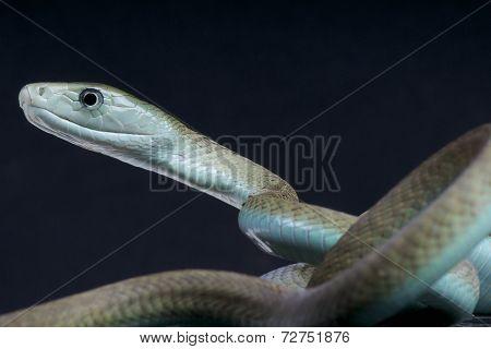 Black mamba / Dendroaspis polylepis