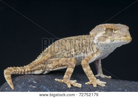 Helmeted gecko / Tarentola chazaliae