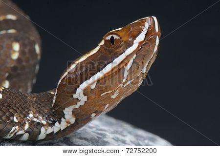 Cantil / Agkistrodon bilineatus