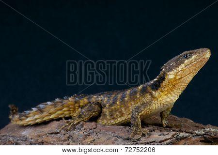Spiny-tailed lizard / Cordylus tropidosternum
