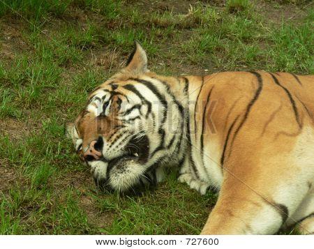 Sleeping Tiger - Close Up