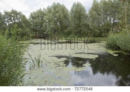 Pond Overgrown With Duckweed