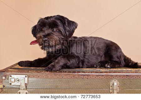 black bolonka-zwetna dog