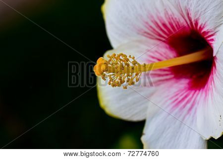 White Hibiscus With Selective Focus On Its Stigma And Stamen