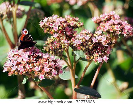 Pink summer flowers od stonecrop