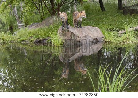 Two Red Foxes with Reflection