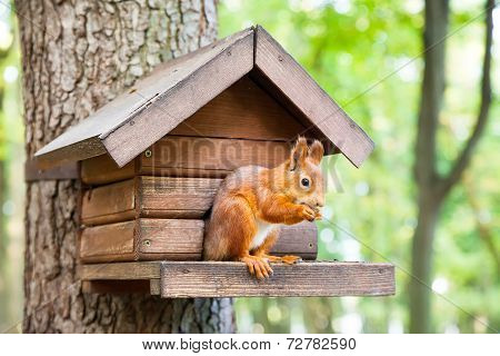 Wild Squirrel Eats In His House
