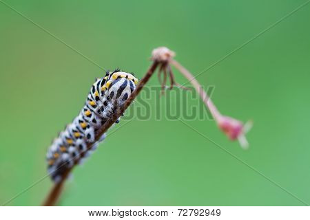 Papilio Machaon grub
