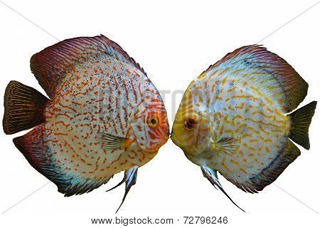 Pair of discus fish on transparent background