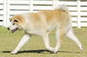 image of akita-inu  - A profile view of a young beautiful white and red Akita Inu dog walking on the grass - JPG