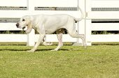 image of scenthound  - A young white Porcelaine dog walking on the grass The Chien de Franche - JPG
