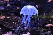 foto of plankton  - Jellyfish - JPG