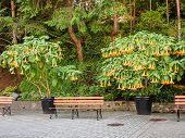 picture of angel-trumpet  - Garden bench in a parl with Angel - JPG