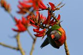 picture of lorikeets  - Bird - JPG