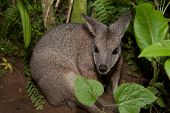 stock photo of wallabies  - Tammar wallaby Macropus eugenii behind the green vegetation - JPG