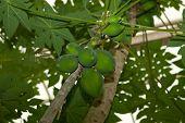 pic of papaya  - green papaya on the papaya tree from the floor - JPG