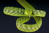 foto of tree snake  - Vine snakes are long - JPG