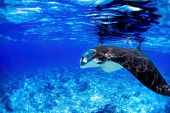 image of manta ray  - Manta ray filter feeding in the blue Komodo waters - JPG