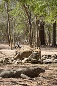 picture of komodo dragon  - Komodo Dragon watching a group of wild deers at the waterhole - JPG
