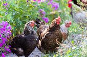 picture of grass bird  - Chickens Laying hens on a grass outdoors day - JPG