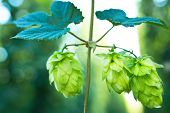 stock photo of bine  - ripened hop cones in the hop garden - JPG