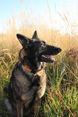 foto of alsatian  - Alsatian shepherd portrait in the field during the summer - JPG