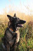 image of alsatian  - Alsatian shepherd portrait in the field during the summer - JPG