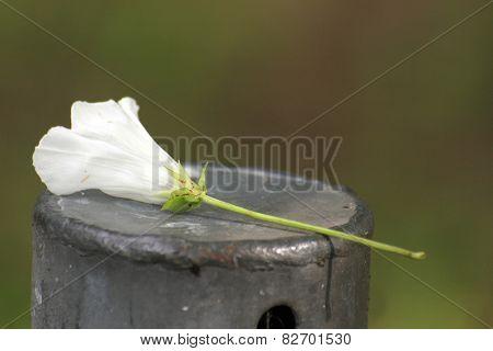 Calystegia Sepium Blossom