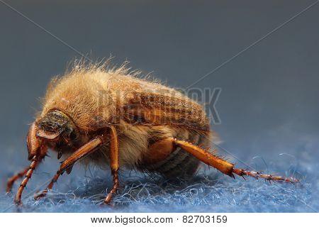 European June Beetle