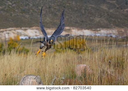 Peregrine Falcon Flying In A Field