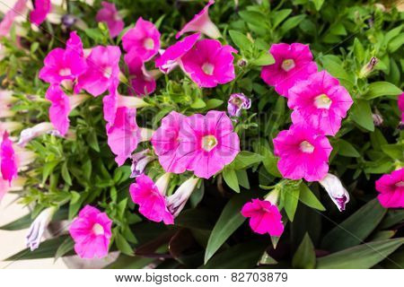 Petunia Hybrida Vilm.