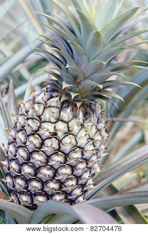 Fresh Pineapple in farm.