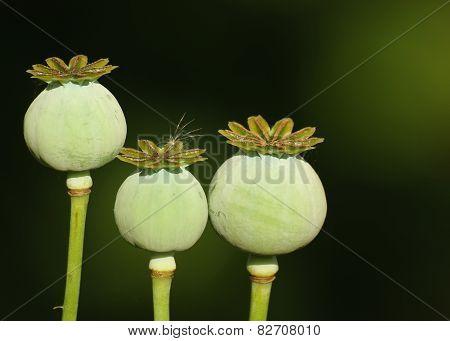 Three Poppy Heads