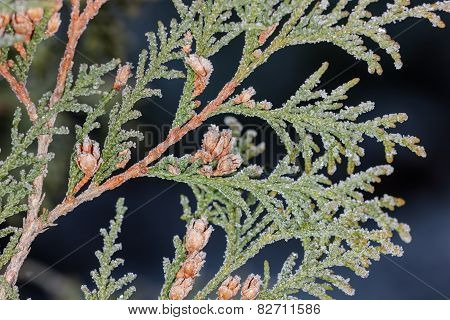 Frost On Thuja Branches