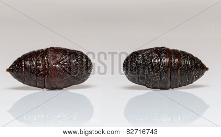 Front And Back Pupa Of Eupterotidae Moth