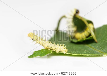 Caterpillar Of Eri Silk Moth