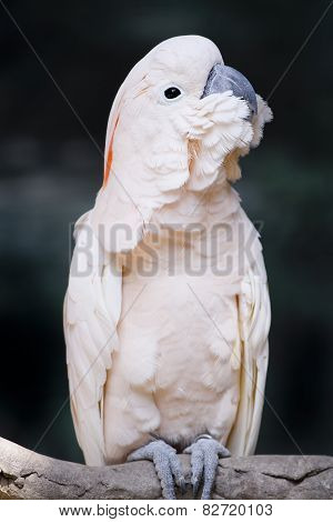 Portrait Of A Moluccan Cockatoo (cacatua Moluccensis), Or Salmon-crested Cockatoo,