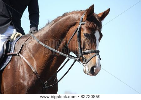 Brown Sport Horse Portrait During Show