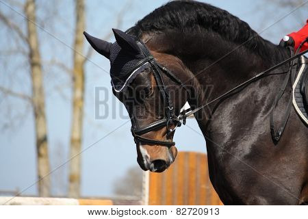 portrait of brown sport horse during competition